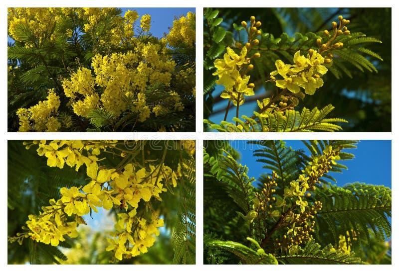 Région méditerranéenne d'arbres fleurissants image stock