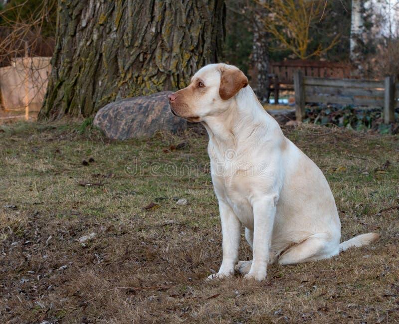 Une s?ance jaune de chien de labrador retriever photographie stock