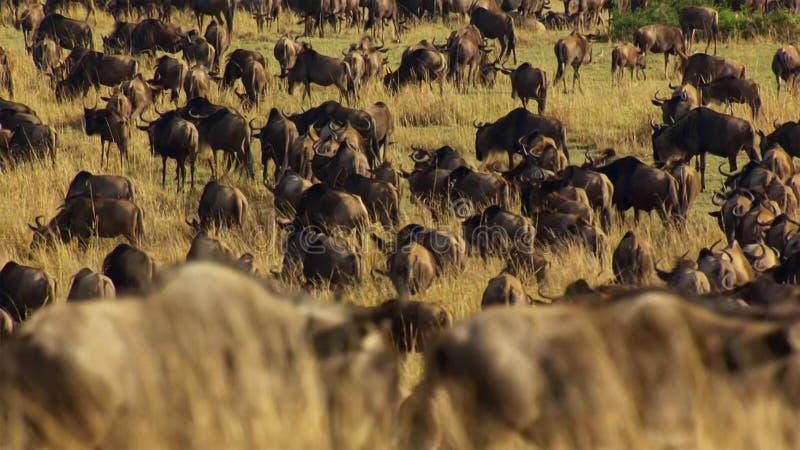 Une saison sèche prend la prise Pour éviter la famine, beaucoup le gnou errent la savane africaine est chassant la pluie image stock