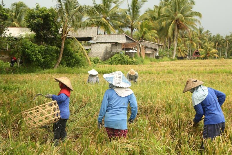 Une scène traditionnelle des travailleurs locaux de Balinese travaillant manuellement dans le riz met en place pendant la saison  photographie stock libre de droits
