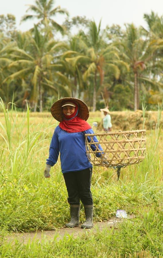 Une scène traditionnelle des travailleurs locaux de Balinese travaillant manuellement dans le riz met en place pendant la saison  image stock