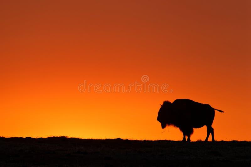 Une silhouette de buffle sur le coucher du soleil orange photos libres de droits