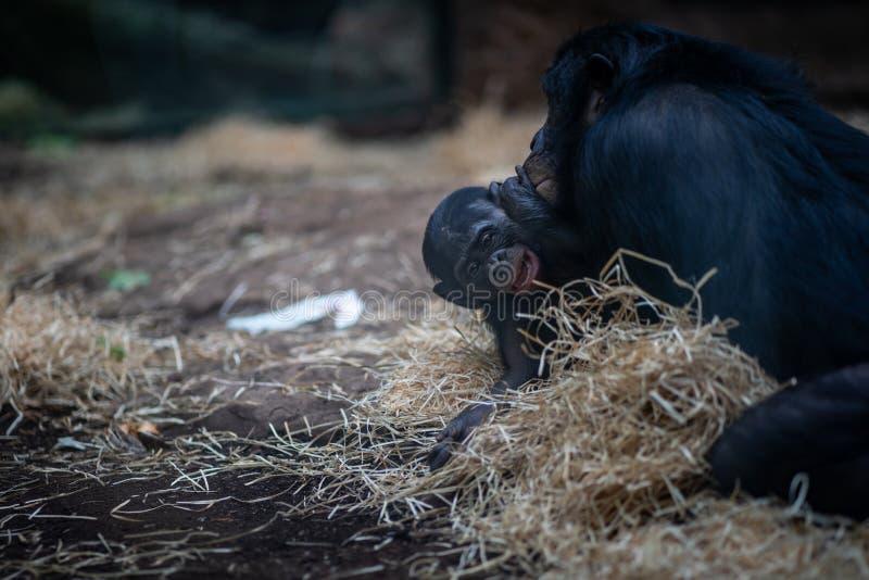 Une singe de bébé dans le zoo de Francfort photographie stock