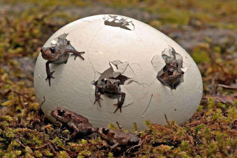 Une surprise plus aimable Amarrez la grenouille, enfants d'arvalis de Rana photos stock