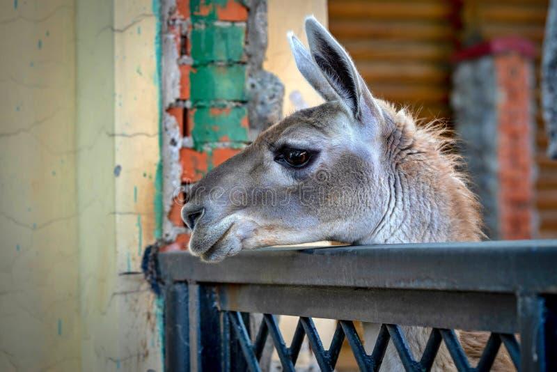 Une tête d'un plan rapproché de lama image libre de droits