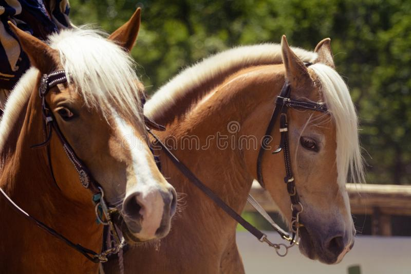 Une tête de cheval de brun orange de haflinger avec la crinière blanche et le licou brun semblant le portrait droit image stock