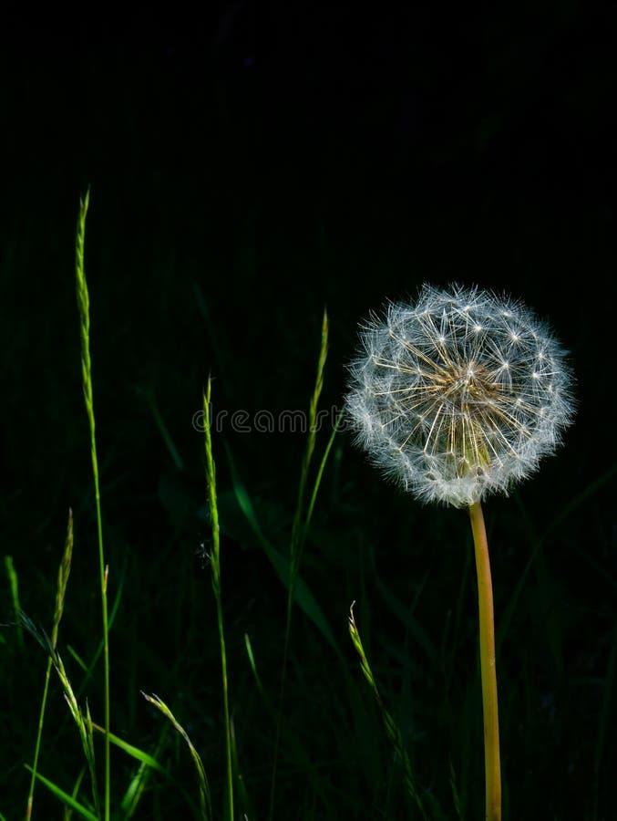 Une tête de graine de pissenlit avec un fond noir et des lames d'herbe photo stock