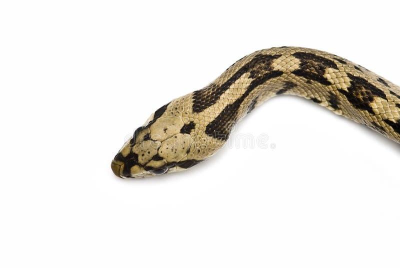 Une tête du `s de serpent. photographie stock libre de droits