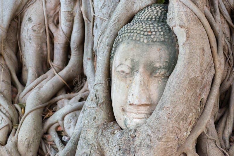 Une tête en pierre de Bouddha a entouré par des racines du ` s d'arbre images stock