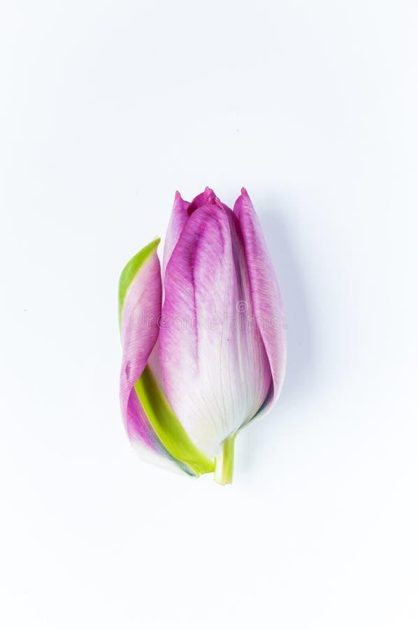 Une tête rose simple de tulipe avec un pétale commençant à déferler images stock
