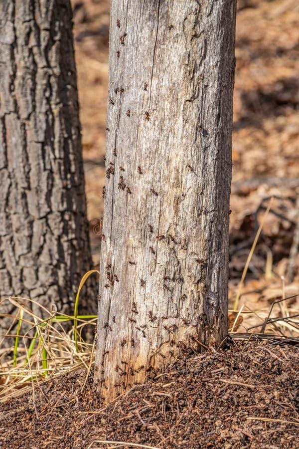 Une for?t de fourmili?re au printemps, fourmis fonctionnent en ?quipe photos stock