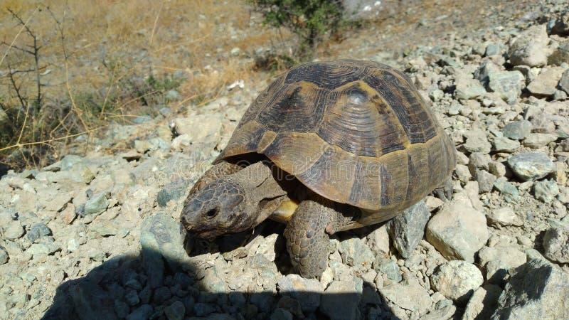 Une tortue dans le méditerranéen photographie stock libre de droits