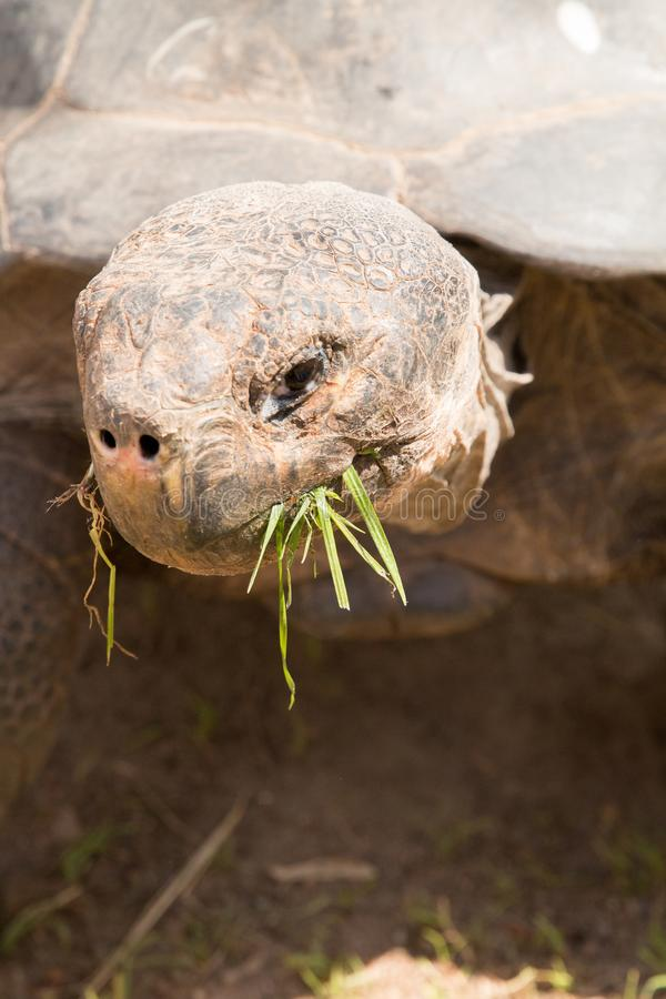 Une tortue de Galapagos mangeant l'herbe photographie stock