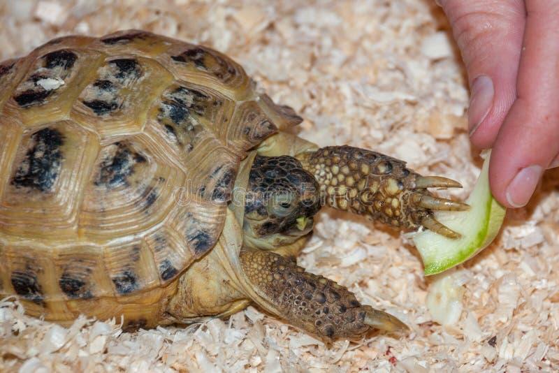 Une tortue de terre mange un morceau de pomme dans une sciure images libres de droits