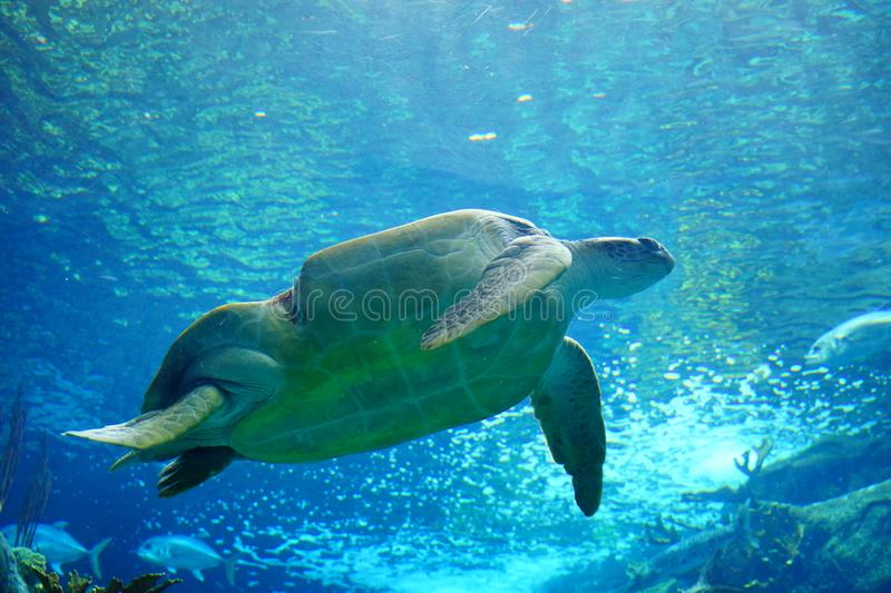 Une tortue nage image stock
