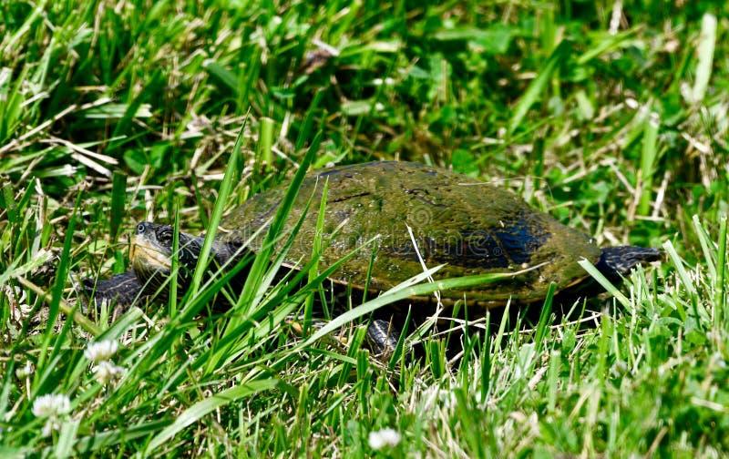 Une tortue peinte dans l'herbe photographie stock libre de droits
