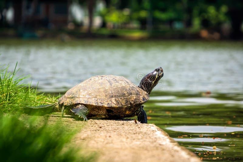 Une tortue prenant un bain de soleil ? c?t? de l'?tang au parc de Lumpini, Bangkok image stock