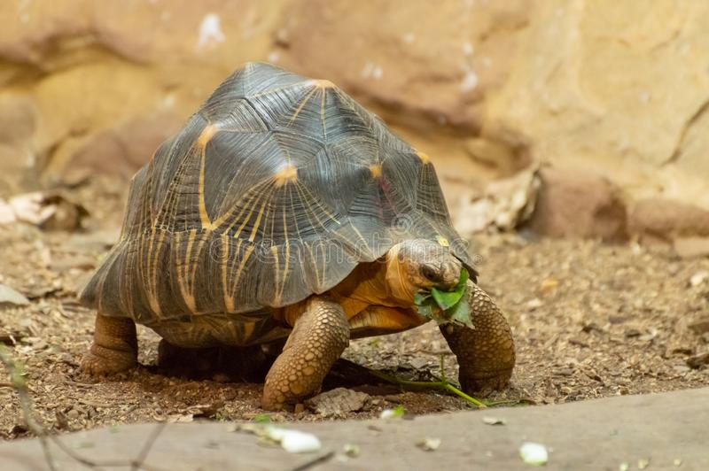 Une tortue rayonnée d'isolement mangeant une feuille photo stock