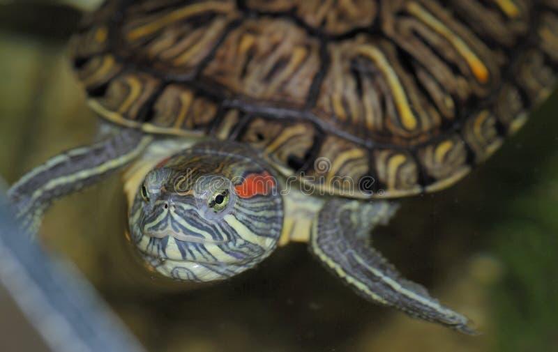 Une tortue rouge-à oreilles photo stock