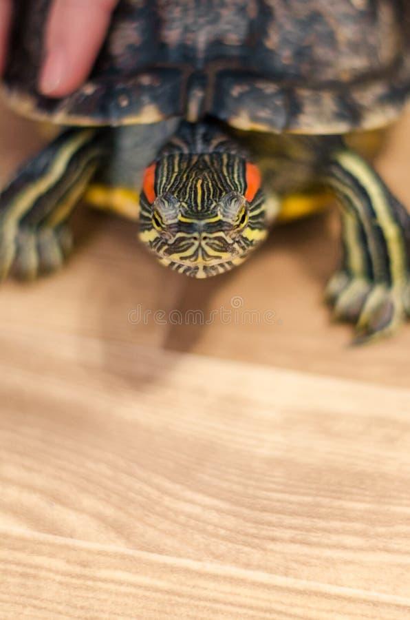 Une tortue sur le plancher à la maison image stock