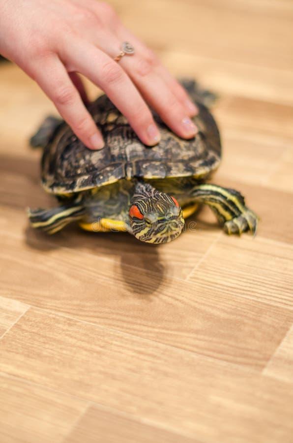 Une tortue sur le plancher à la maison image libre de droits
