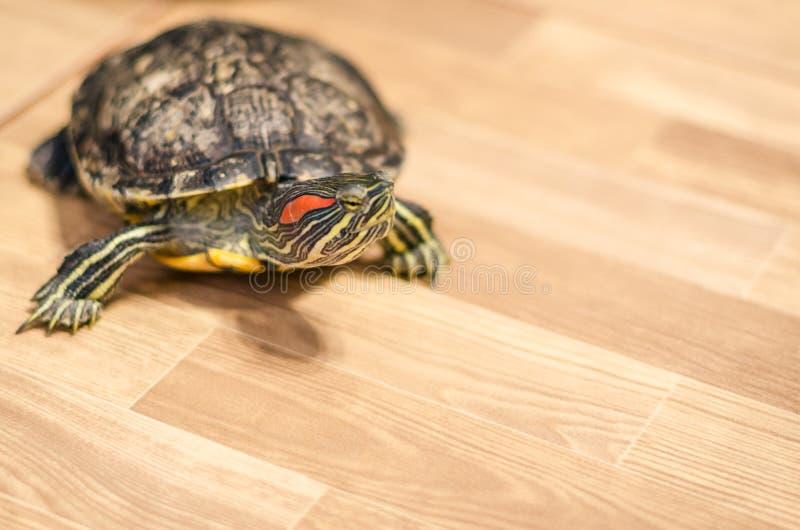 Une tortue sur le plancher à la maison photos stock