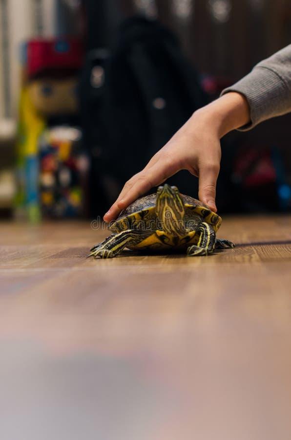 Une tortue sur le plancher ? la maison photo libre de droits