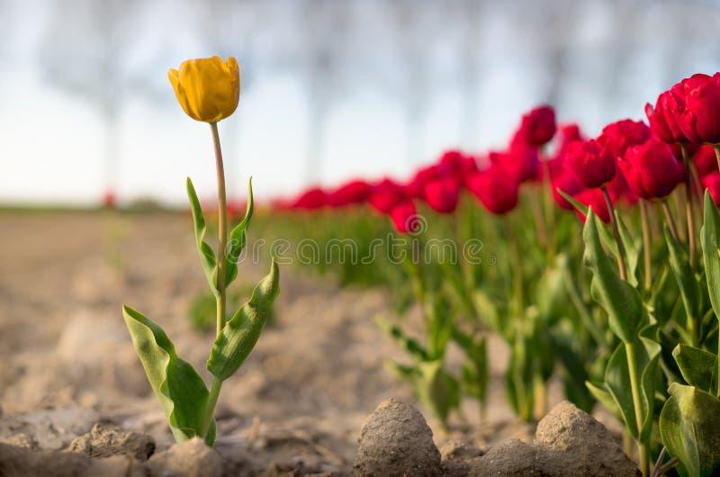 Une tulipe jaune debout en dehors d'un champ des tulipes rouges images libres de droits