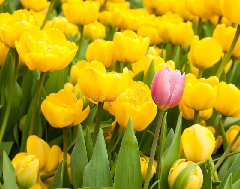 Une tulipe rose se tenant de beaucoup jaune Concept d'individualité photos stock
