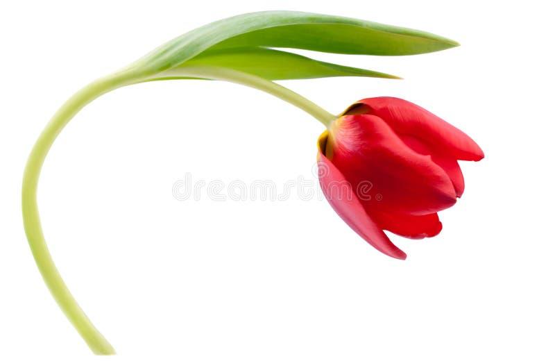 Une tulipe rouge d'isolement sur le blanc image libre de droits