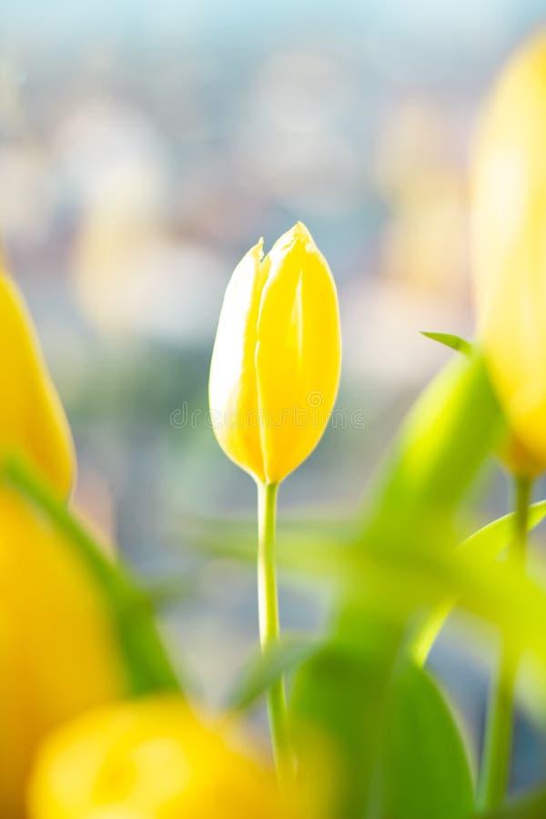 Une tulipe sensible jaune dans un bouquet dans la ville, bokeh urbain de fond photos libres de droits