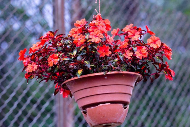 Une usine avec un volume de rouge très beau fleurit un pot image libre de droits