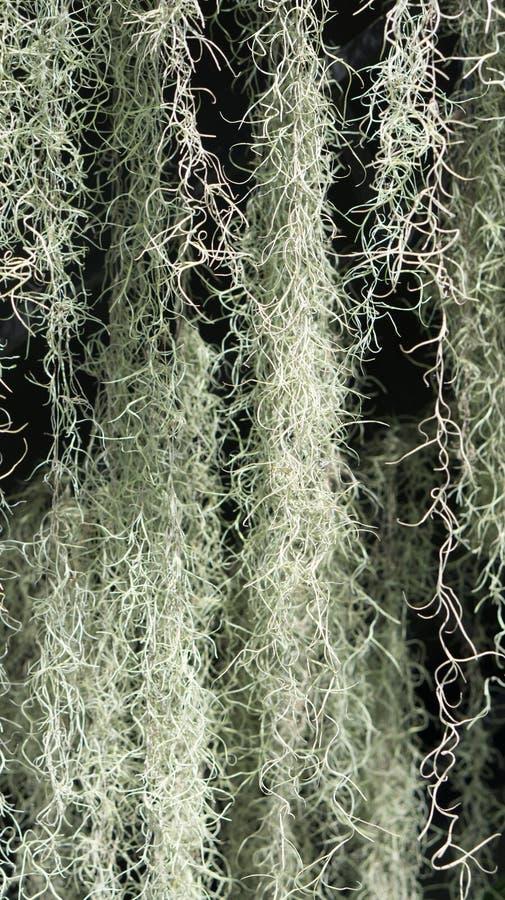 Une usine fleurissante Mousse espagnole (usneoides de Tillandsia) photographie stock libre de droits