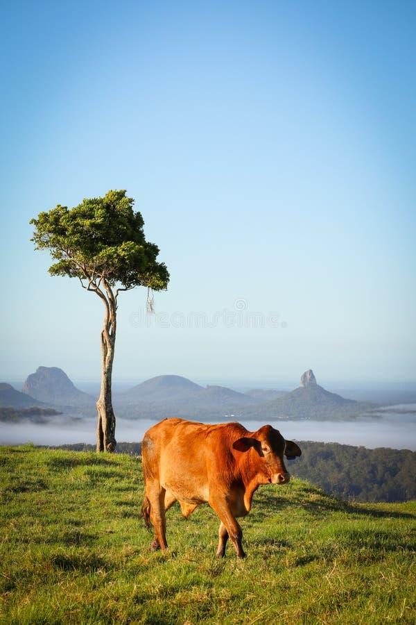 Une vache avec une belle vue photographie stock libre de droits