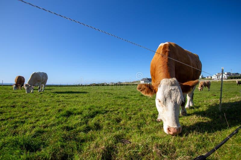 Une vache broutant sur une belle prairie verte photographie stock