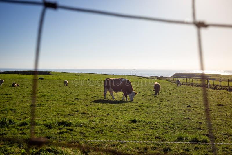 Une vache broutant sur une prairie verte par beau temps photos stock