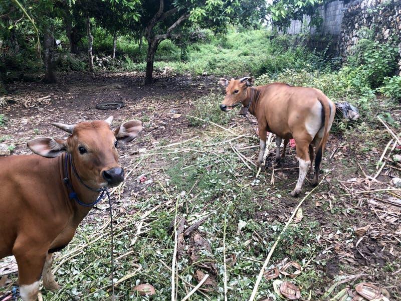Une vache brune allaite son enfant Il est l'un des animaux pour Eid al-Adha qurban photo libre de droits