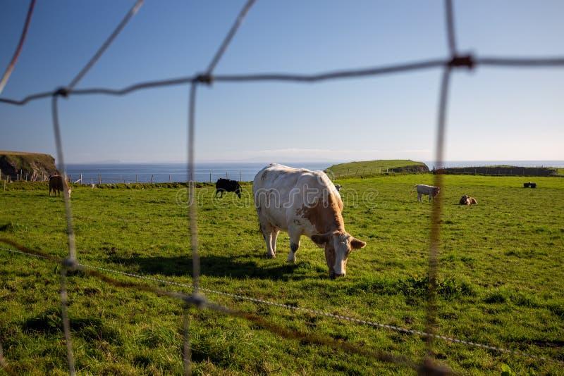 Une vache brune paissant avec d'autres vaches sur une prairie verte face à la mer en Irlande du Nord sur un s images libres de droits