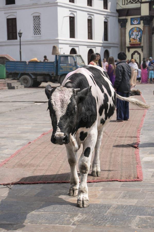 Une vache devant un temple hindou au Népal images stock