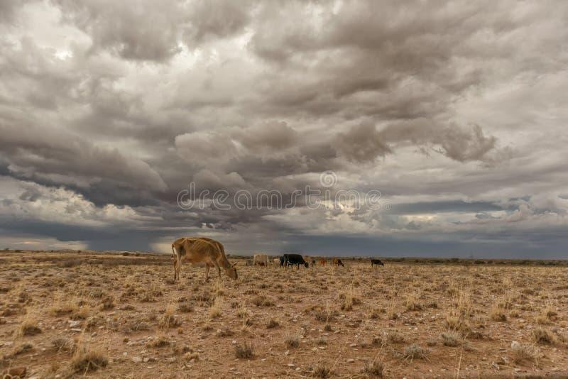 Une vache extrêmement maigre frôlant dans le désert de la Namibie images libres de droits