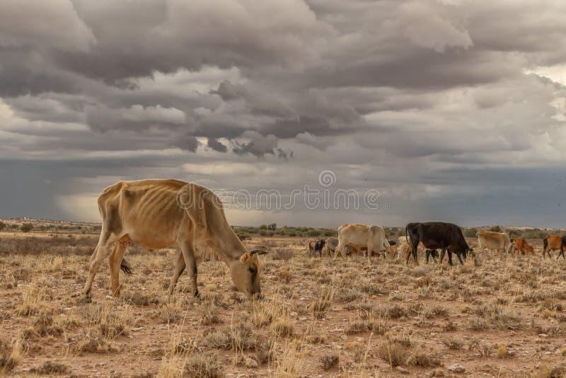 Une vache extrêmement maigre frôlant dans le désert de la Namibie image libre de droits