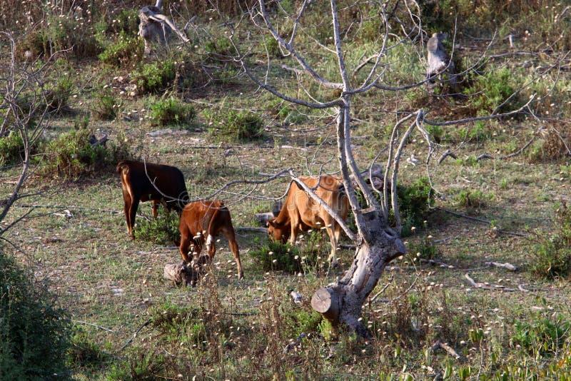 Une vache frôle en clairière ensoleillée image libre de droits