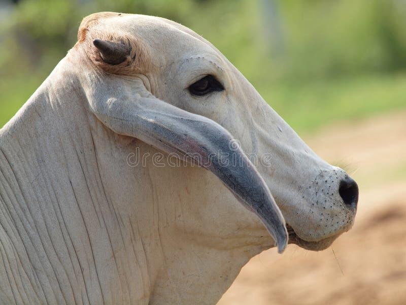 Une vache indienne blanche image libre de droits