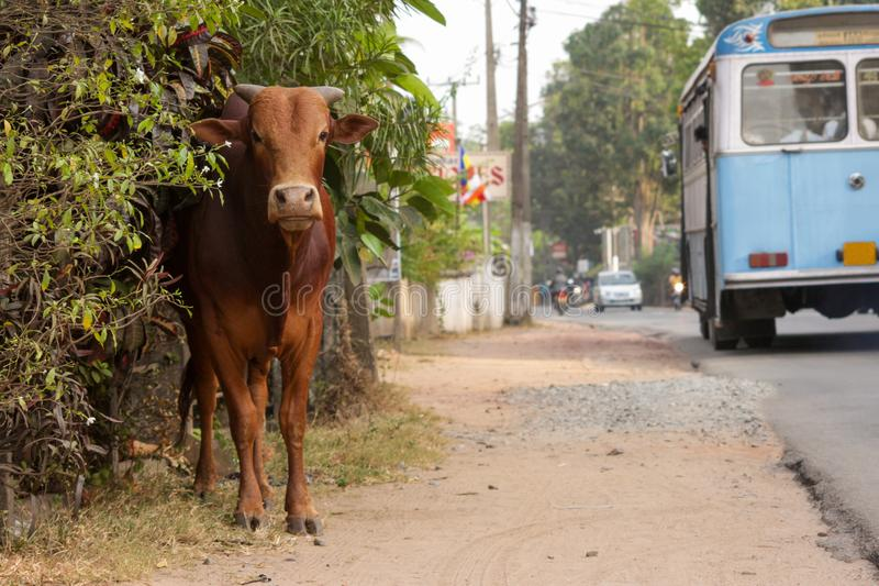Une vache par le côté de la route L'autobus passant par images stock