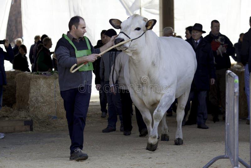 Une vache piedmontese une exposition photographie stock
