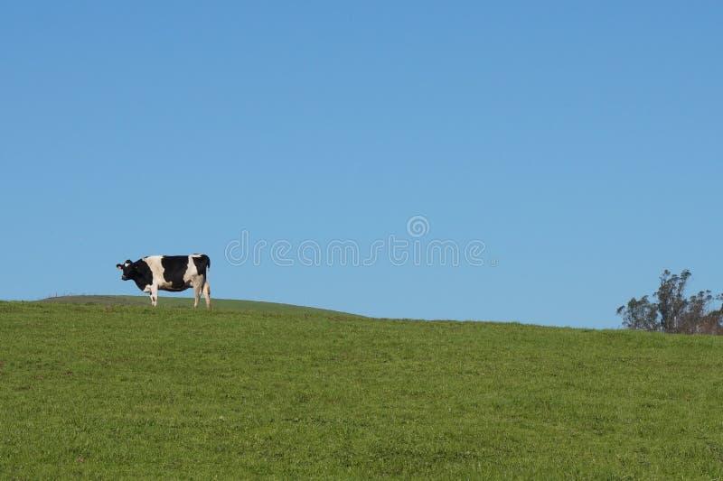 Une vache sur le pâturage vert photo stock