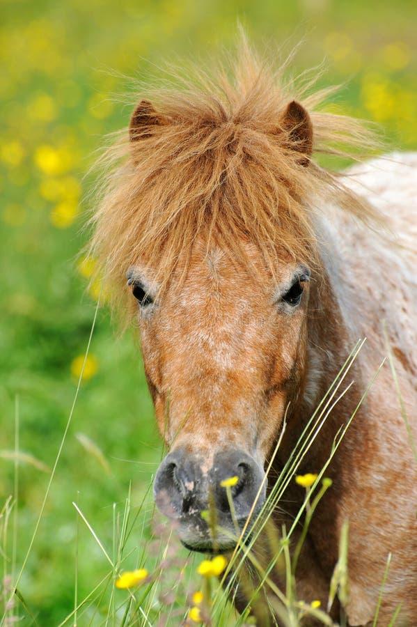 Une verticale d'un poney sauvage dans un pré d'été photographie stock libre de droits