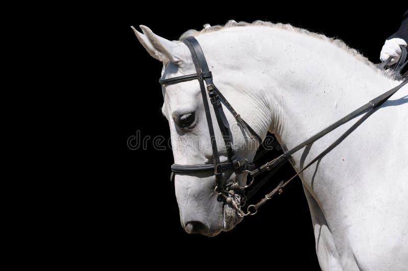 Une verticale du cheval gris de dressage d'isolement photographie stock