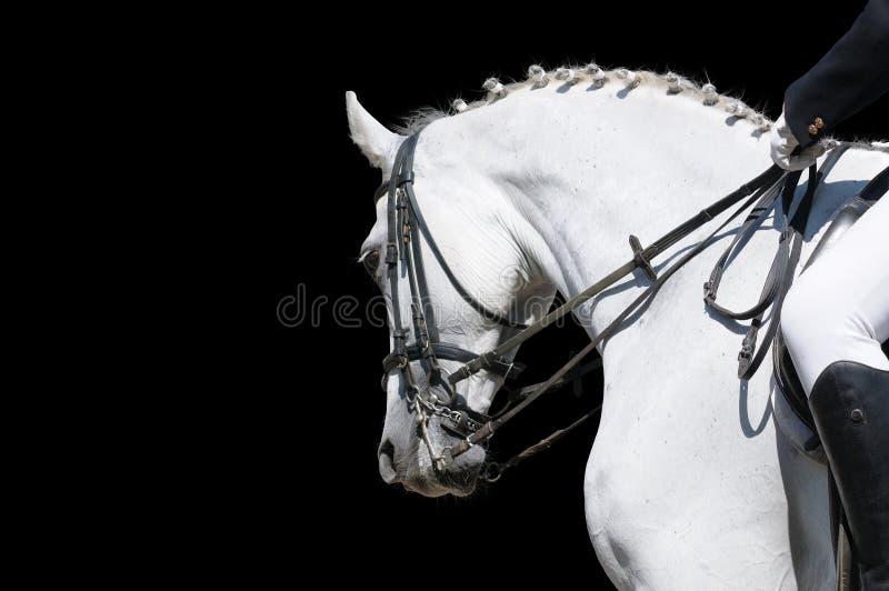 Une verticale du cheval gris de dressage d'isolement images stock