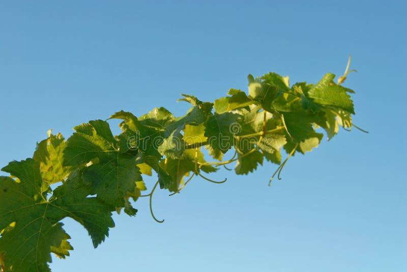 Une vigne atteint pour le ciel, ses vrilles montrant contre le ciel bleu photos libres de droits